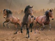 Three horses. Three indomitable bay horse galloping Royalty Free Stock Image