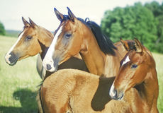 Three horses looking sideways stock photography