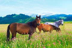 Three horses on a meadow. Three horses grazed on a meadow among mountains Royalty Free Stock Photo