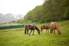 Three horses in a meadow Stock Image
