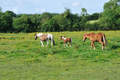 Three Horses on The Meadow Stock Photography