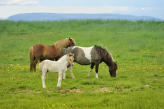 Three horses at the meadow. Two horses with colt pastures at green meadow in Iceland Royalty Free Stock Image