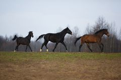 Three horses on the meadow Royalty Free Stock Images