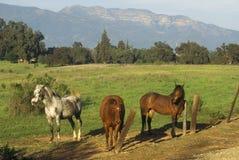 Three horses in morning light against Topa Topa Mountains, Ojai, CA Royalty Free Stock Photos