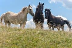 Three horses on mountain Stock Photography