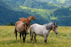 Three horses in mountains Royalty Free Stock Photo