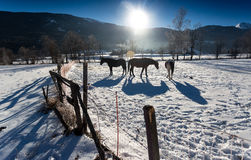 Three horses at outdoor paddock in snowy day Royalty Free Stock Photo