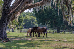Three horses in pasture with live oak Royalty Free Stock Photography