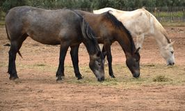 Three Horses in pasture at winery in Guadalupe Valley Stock Images