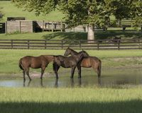Three horses playing in pond. royalty free stock photos