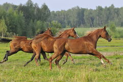 Three horses run gallop. On the meadow Royalty Free Stock Images
