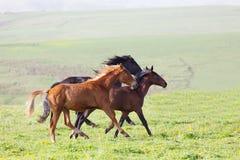 Three horses run Royalty Free Stock Image