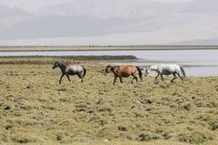 Three horses run from Song Kul lake in Kyrgyzstan towards Steppe. Three horses run from Song Kul lake in Kyrgyzstan towards green Steppe Stock Photography