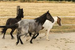 Herd of horses galloping in the sand royalty free stock images