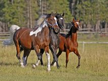 Three Horses running. Three Horses , Pinto Gelding, and black and bay Colt running together in summer meadow royalty free stock photo