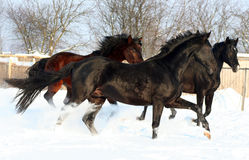 Three horses in the snow Royalty Free Stock Image