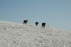 Three horses on the snowcovered grassland Stock Photography
