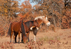 Three horses standing close to each other. In a fall pasture, one grazing, two others watching attentively something in the distance Stock Photography