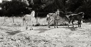 Three horses standing in the meadow during mid day. black and white photo Stock Image