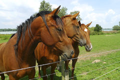 Three horses standing side by side Stock Photos