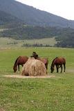 Three horses and straw bale. Three horses at a pasture Stock Photo