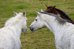 Three Horses talking together Royalty Free Stock Photo