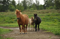Three horses on a trail Royalty Free Stock Photography