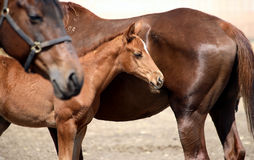 Three horses, two big and one small Stock Images