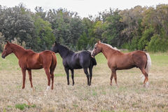 Three horses Stock Photos