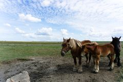 Three horses, two brown one black royalty free stock photos