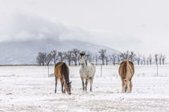 Three horses with ute mountain in winter stock images