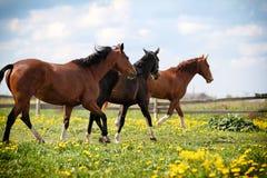 Three horses walk. In green field Royalty Free Stock Photo