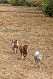 Three horses walking along. Stock Photo