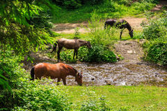 Three horses watering on a forest creek. horizontal Stock Image