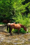 Three horses watering on a forest creek.vertical Stock Photos