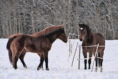 Three horses wearing winter coats in snow covered paddock royalty free stock images