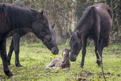 Three horses welcoming a newborn foal stock image