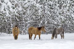 Three horses in winter. Royalty Free Stock Photo