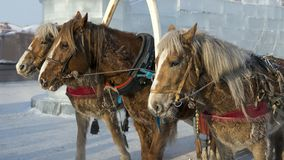 Three Horses in winter. Chita Royalty Free Stock Photos