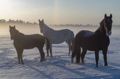 Three horses in the winter fog. A short Northern day. royalty free stock photo