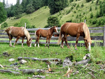 Three horses in wooden fence on  hillside background. Two adult horses grazing, foal stands between them. In foreground there are logs and branches Stock Photo