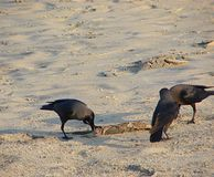 Three House Crows or Indian Black Crows - Corvus Splendens - Exploring Something on Sand. This is a photograph of three house crows, also known as Indian crows Stock Photos