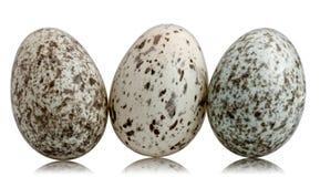 Three House Sparrow eggs, Passer domesticus Stock Photo