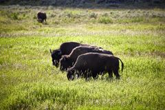 Three huge bisons buffalos bulls standing on a meadow wildlife stock photo