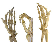 Three human hands skeletons on white. Human hands skeleton isolated on white background Stock Images