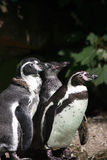Three humboldt penguins Royalty Free Stock Photos