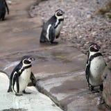 Three Humboldt Penguins Stock Photo