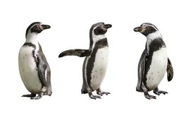 Three Humboldt penguins on white background Royalty Free Stock Photo