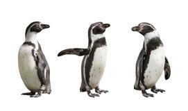 Three Humboldt penguins on white background. Isolated royalty free stock photo