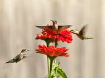 Three hummingbirds. And red zinnias Royalty Free Stock Photography
